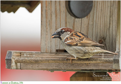 House sparrow enjoying his lunch