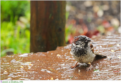 The rain doesn't stop House Sparrow to look for yummy food :)