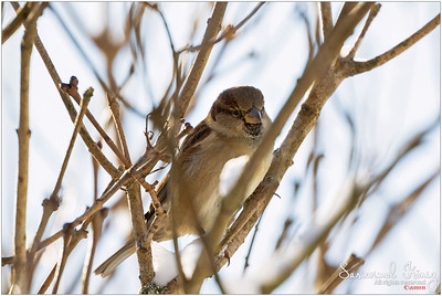 House Sparrow… looking thoughtful :P