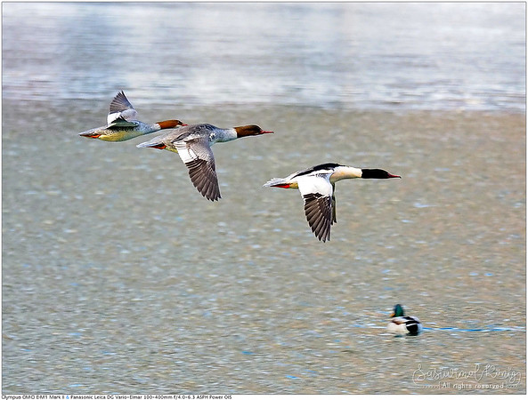Common Merganser, flying