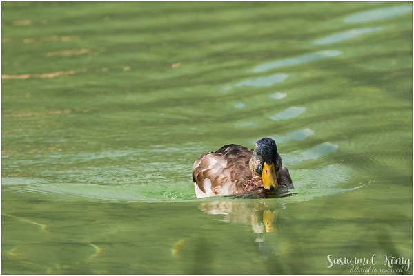 Male mallard making waves at the Lake Achen (Achensee), Austria :)