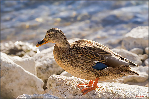 Female mallards @ Achen Lake - Austria