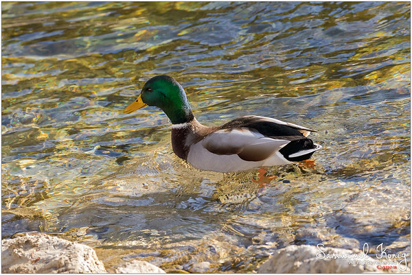 Male mallard on crystal clear lake, Achen Lake - Austria