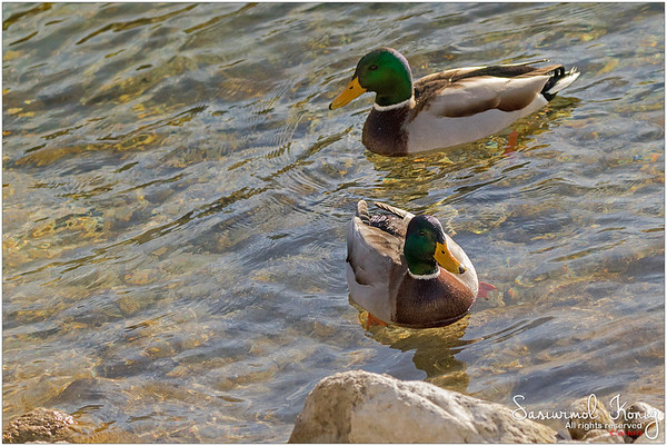 Male mallards on crystal clear lake, Achen Lake - Austria