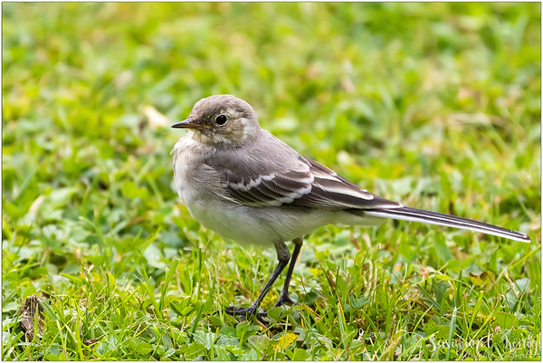 White Wagtail (Bachstelze) : Walked to close to me :)