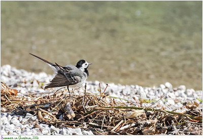 Cute little White Wagtail bird wagging its tail