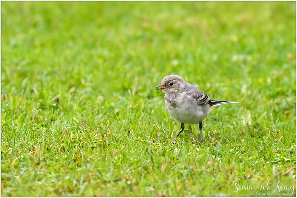 White Wagtail (Bachstelze) : Breakfast is ready
