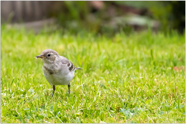 White Wagtail (Bachstelze) : Early bird could really catch a worm !