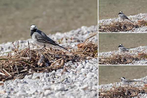 White Wagtail by Achen Lake, Austria
