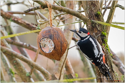 Great Spotted Woodpecker - perching cautiously