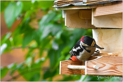 Great Spotted Woodpecker, found some food!