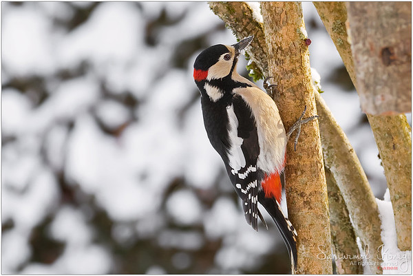 Great Spotted Woodpecker - snow covering its beak