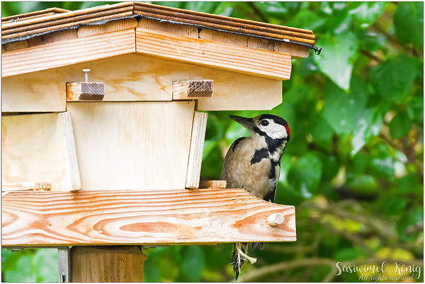 Great Spotted Woodpecker, is anybody home?