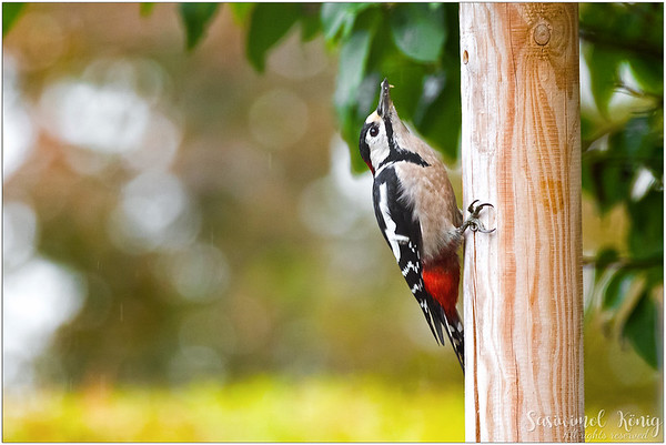 Great Spotted Woodpecker, chin up and move on