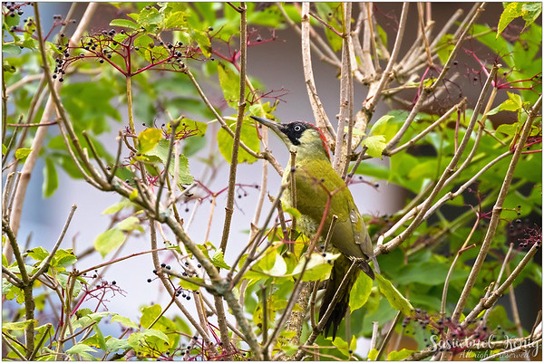 European green woodpecker, love the eyes