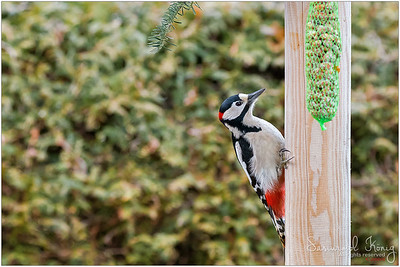 Great Spotted Woodpecker - not another fatty meal.. today I'll go for nuts