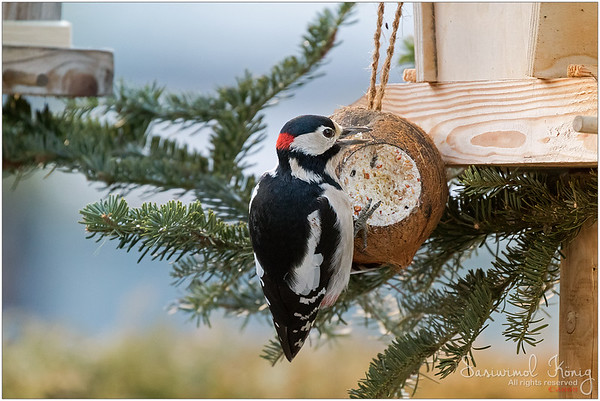 Great Spotted Woodpecker - hang tightly while chewing fat