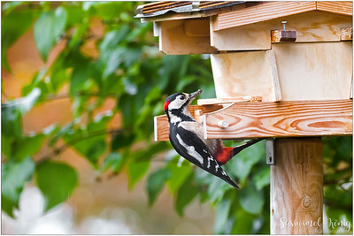 Great Spotted Woodpecker, on a pull up bar