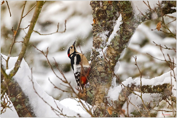 Great Spotted Woodpecker - foraging for grubs.. excavating a tiny hole on plum tree