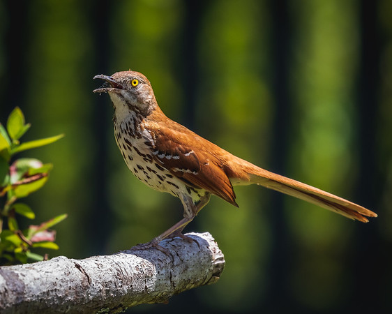 Brown Thrasher Calling