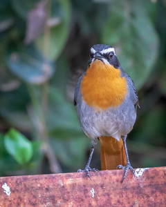White Browed Chat