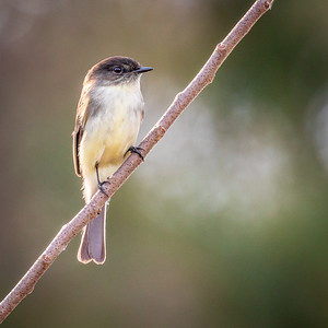 Eastern Phoebe on branch
