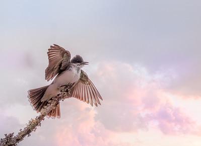 Eastern Kingbird with Pink Sky