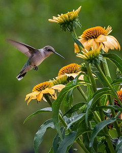 Ruby Throated Hummingbird with Coneflower - Close Up