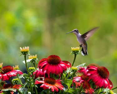 Ruby Throated Hummingbird on Approach