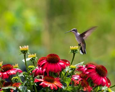 Ruby Throated Hummingbird on Approach