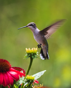 Ruby Throated Hummingbird on Approach - Close Up