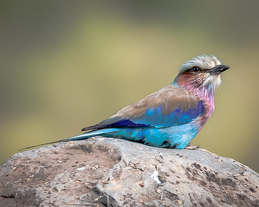 Lilac Breasted Roller in Kenya