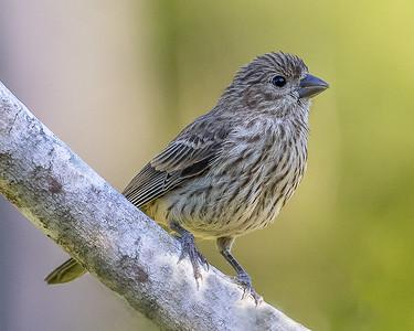 Finch Fledgling