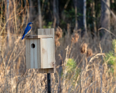 Eastern Blue Bird on House