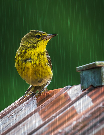 Pine Warbler in the Rain