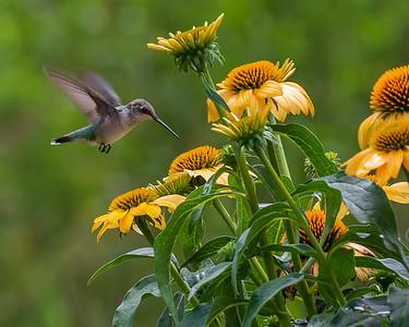 Ruby Throated Hummingbird & Yellow Cone Flower