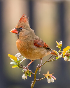 Northern Cardinal on Blueberry Bush