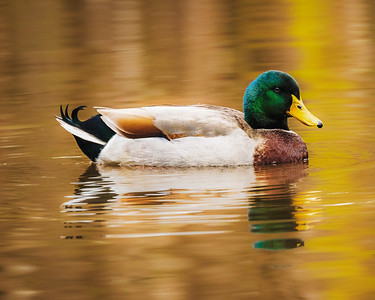 Mallard on Golden Pond
