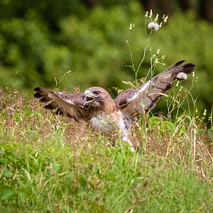 Red-Tailed Hawk in Meadow