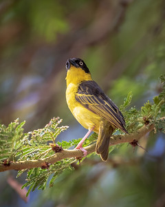 Hooded Weaver