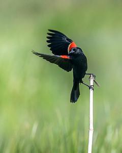 Red Winged Black Bird Take Flight