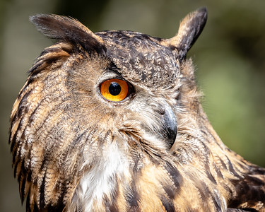 Eurasian Eagle Owl - Up Close