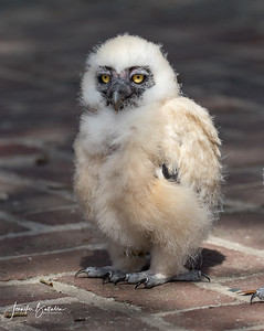 Baby Spectacle Owl