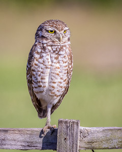 Burrowing Owl on One Leg