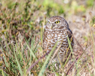 Burrowing Owl among Grass