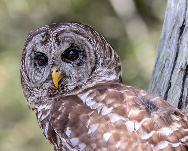 Barred Owl - Up Close