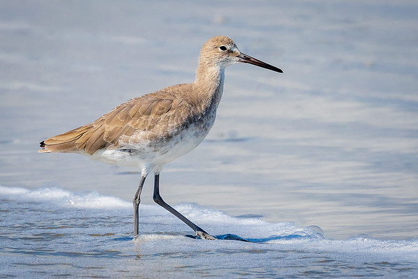 Willet Close Up