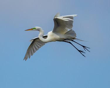 Great Egret flying (Breeding Plumage)