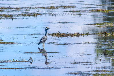 Yellow Capped Heron at Low Tide
