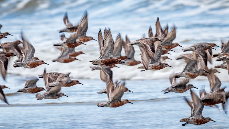 Red Knots Flying